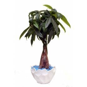 Παχίρα ή Money Tree