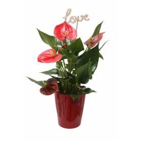 Anthurium in Red Pot