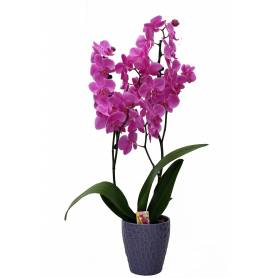 Double Stemmed Phalaenopsis Orchid  - 1
