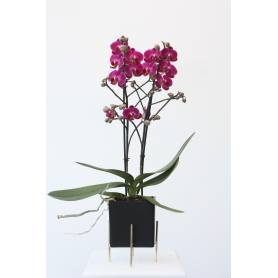 Mini Phalaenopsis Orchid in...