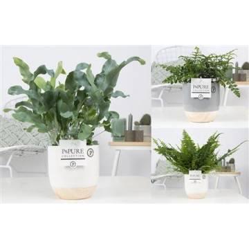 Ενεργειακά Φυτά