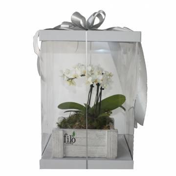 Miniature Phalaenopsis...
