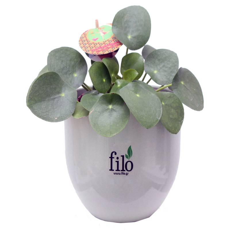 Pilea Peperomioides-Chinese Money Plant  - 1