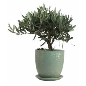 Olive  - 1