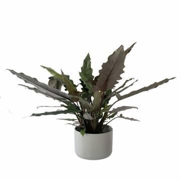 Αλοκάσια Lauterbachiana  - 1