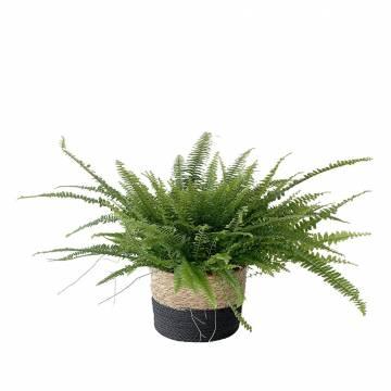 Fern Green Lady  - 1