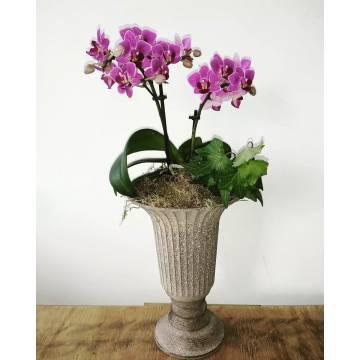Mini Phalaenopsis Orchid in Amphora  - 1