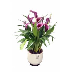 Calla Lilies  - 1