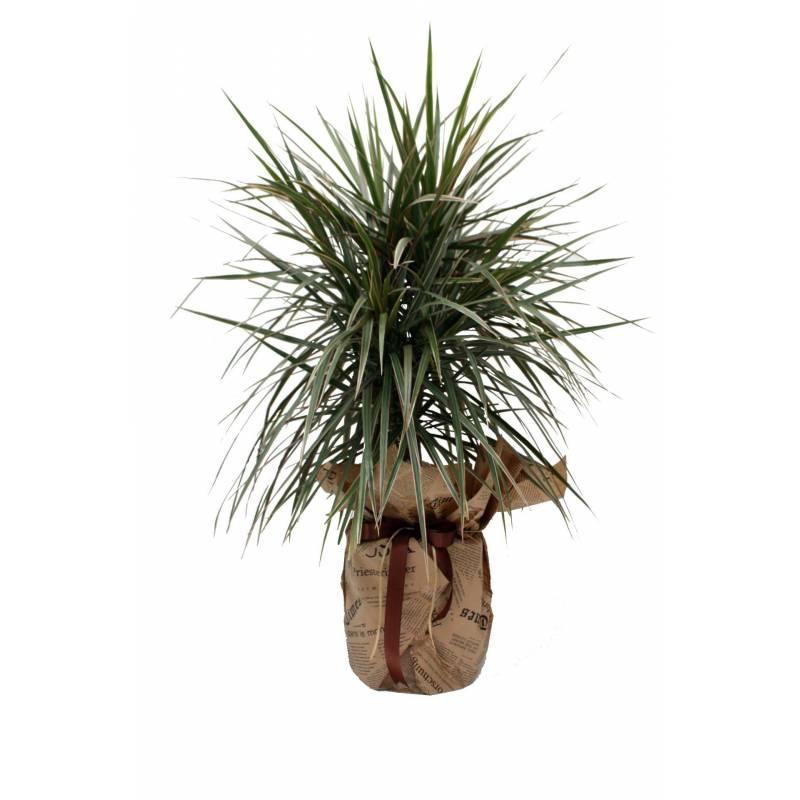 Ορχιδέα Phalaenopsis Δίκλωνη Σε Κεραμικό Δοχείο