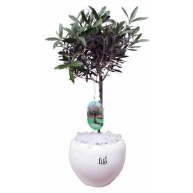 Olive Tree  - 1