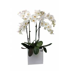 Three Double Stemmed Phalaenopsis Orchids In Large Cube Pot  - 1